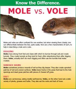 mole vs vole infographic
