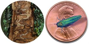 size of EAB relative to a penny