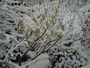 snow covering a bush in the winter