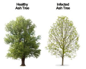 Emerald ash trees compared: healthy & damaged