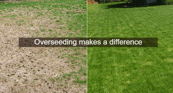 image comparing the before and after of overseeding service