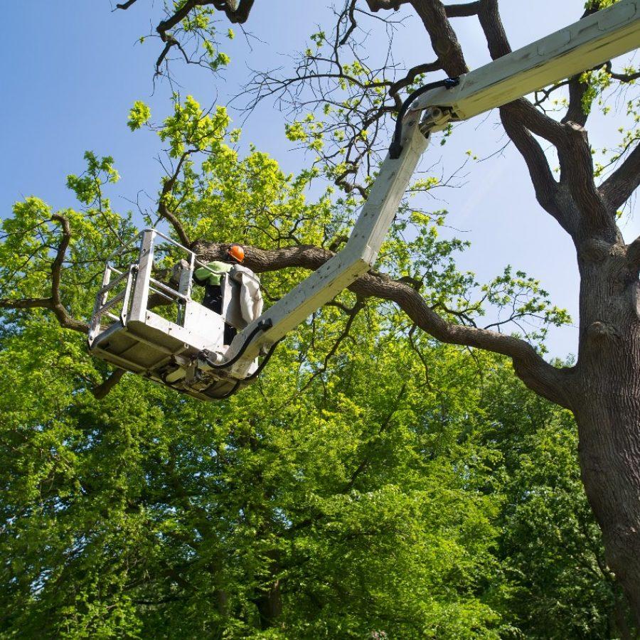 arborist trimming trees